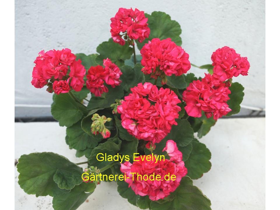 Gladys Evelyn