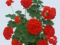 Rosebud Surpreme